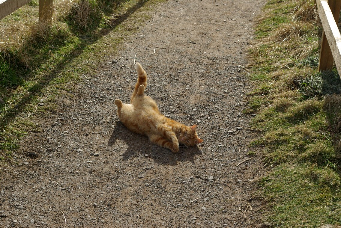 A photo of a ginger cat relaxing on a path